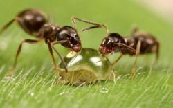 Удаление волос муравьиным маслом