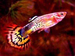 Советы начинающим аквариумистам по содержанию гуппи в домашнем аквариуме
