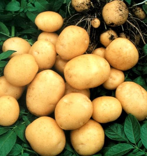 Картофель очень полезный овощ