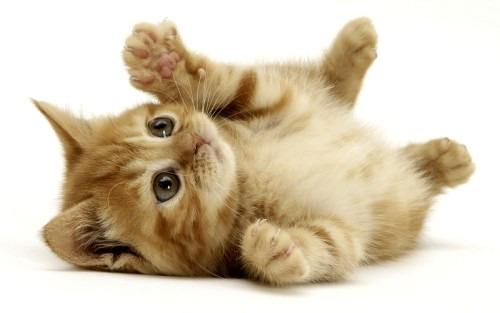Приучаем котенка к лотку, к рукам и к когтеточке