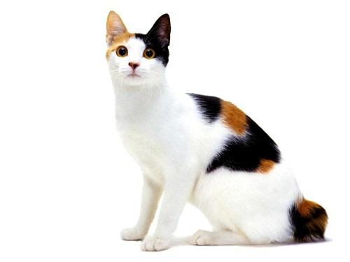 Японский бобтейл – ранимый и ласковый котенок
