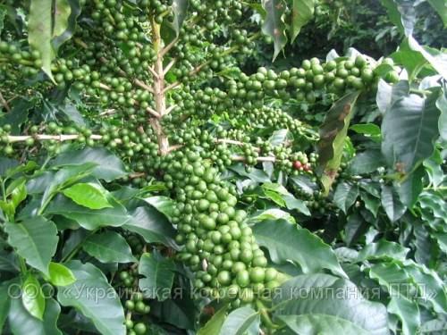 Зеленый кофе - все, что Вы хотели знать о нём