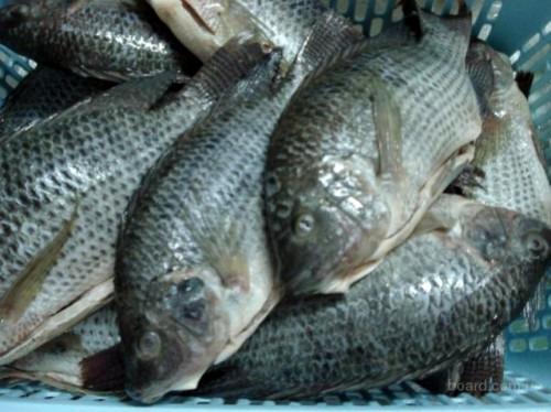 Чем полезна рыба тилапия