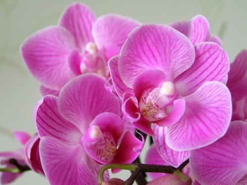 Как заставить орхидею фаленопсис цвести?