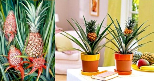 Выращиваем ананас у себя дома