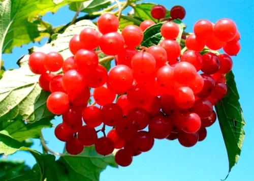 Калина - кладезь витаминов