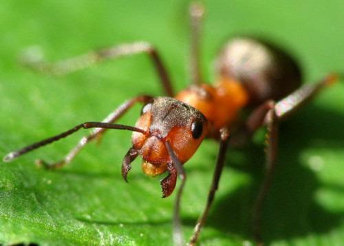 Как избавится от нашествия домашних муравьев?